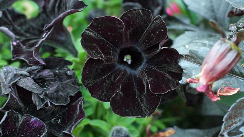 Czarne petunie