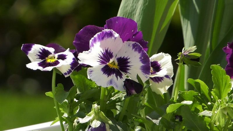 Bratki – uprawa i rozmnażanie. Kwiaty na ogród