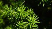 Cis – ciekawostki o roślinie