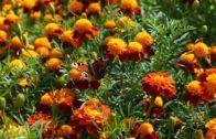 Aksamitki – przyjaciółka ogrodu. Dlaczego warto je mieć w ogrodzie