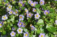 Eksakum – informacje o roślinie