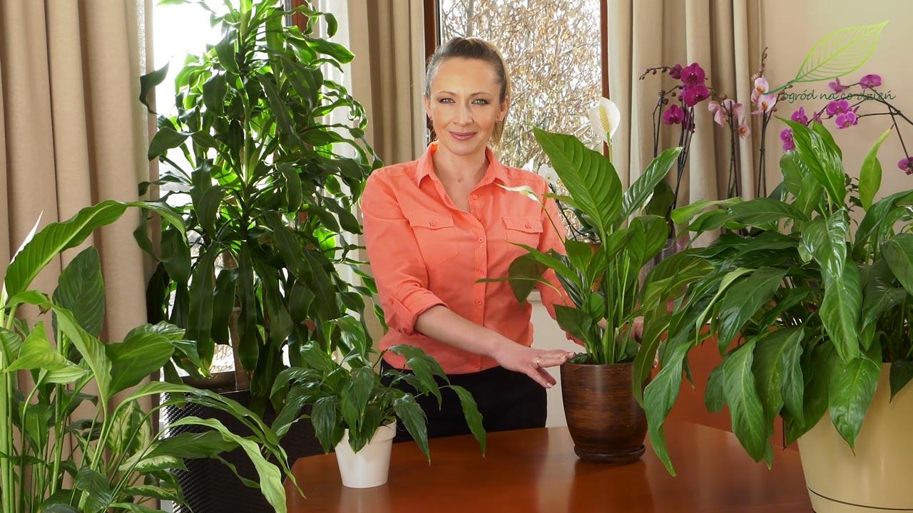 skrzydłokwiaty uprawa, skrzydłokwiaty pielęgnacja, jak uprawiać skrzydłokwiaty, rośliny oczyszczające powietrze,