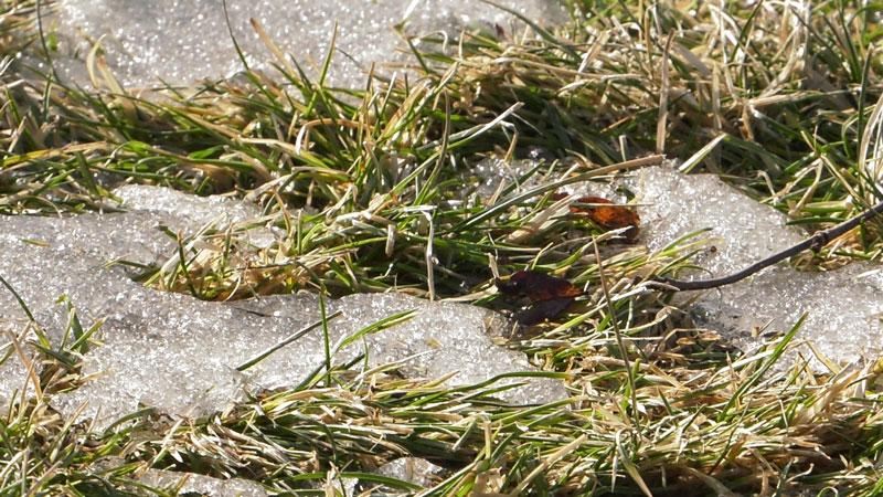 Problemy z trawnikiem – trawnik po zimie – plamy na trawniku, pleśń śniegowa