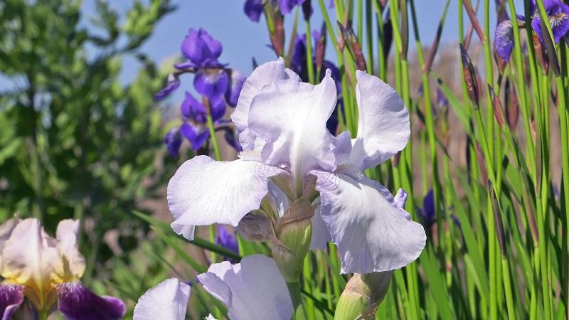 Irysy – kosaćce cebulowe – uprawa w ogrodzie