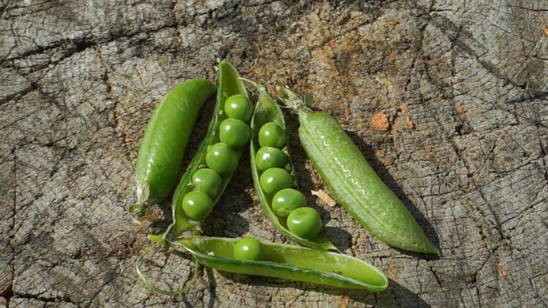 Groch i bób – wysiew i uprawa w ogrodzie.