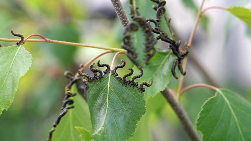 Szkodniki na liściach w ogrodzie