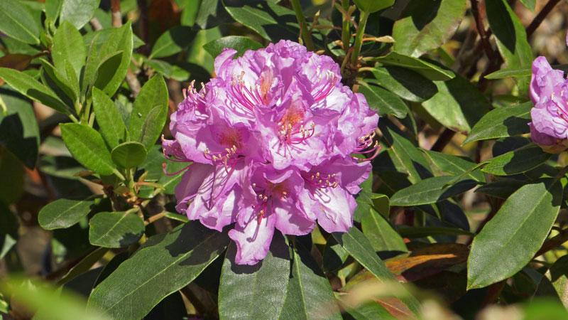 Rododendrony – problemy z różanecznikami walka z chorobami i szkodnikami