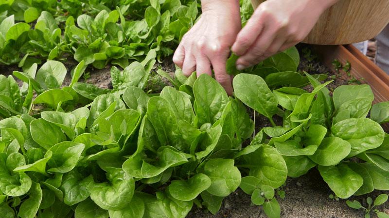 Szpinak roszponka rukola – wysiew i uprawa w ogrodzie.
