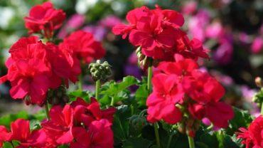 Pelargonie – uprawa i pielęgnacja