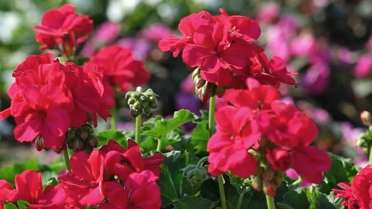 pelargonie wysiew, uprawa pelargonii, wymagania pelargonii, jak dbać o pelargonię, pelargonie na balkony i tarasy, kwiaty na balkon,