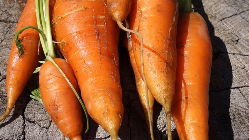 Marchew – uprawa i wysiew
