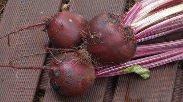 Buraki – wysiew i uprawa w ogrodzie