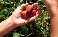 Truskawki i poziomki – wysiew i jak uprawiać je w ogrodzie?