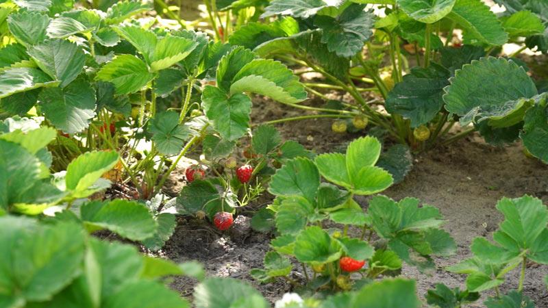 Truskawki – problemy w uprawie truskawek