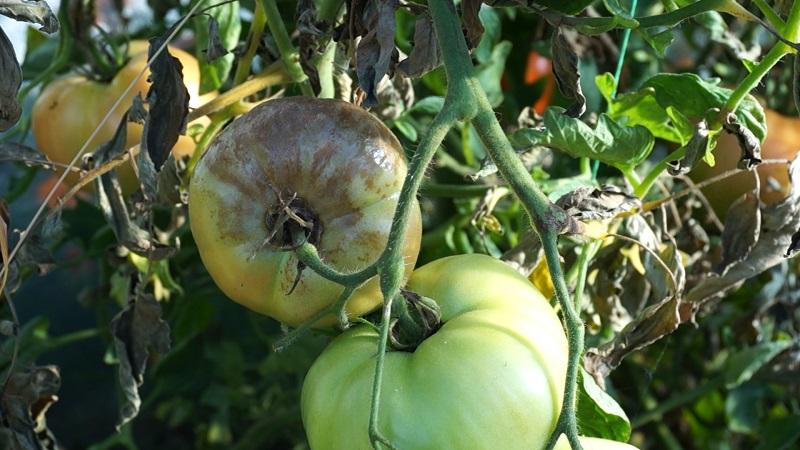 Pomidory – choroby i problemy w uprawie