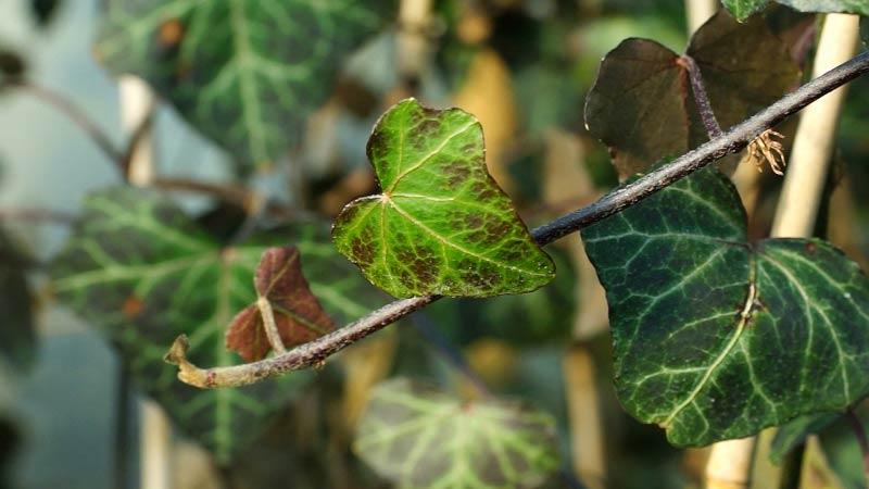 Bluszcz – rozmnażanie i stanowisko, łatwa w uprawie pnącze