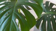 Monstera – długowieczna roślina
