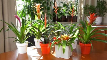 Bromelie – rośliny ananasowate