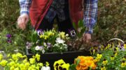 Bratki – rośliny na balkon i taras