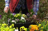 Bratki – kwiaty na balkon i taras