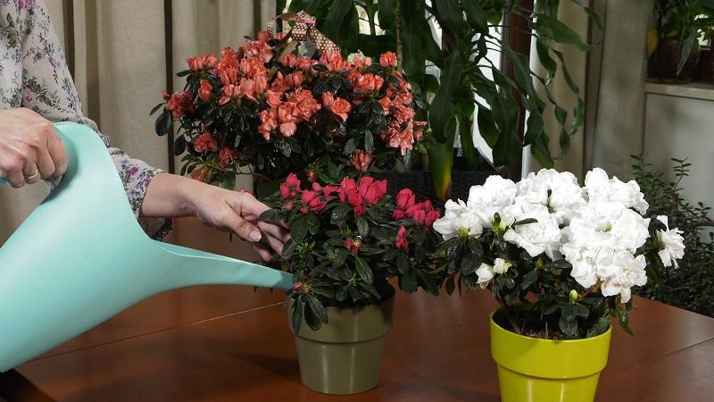 azalie doniczkowe, azalie, rośliny domowe, różaneczniki, kwiaty doniczkowe, uprawa azalii, pielęgnacja azalii