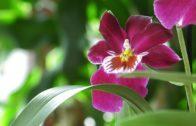 Storczyk miltonia – Miltoniopsis