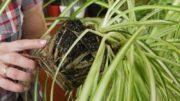Zielistka – domowe rośliny doniczkowe