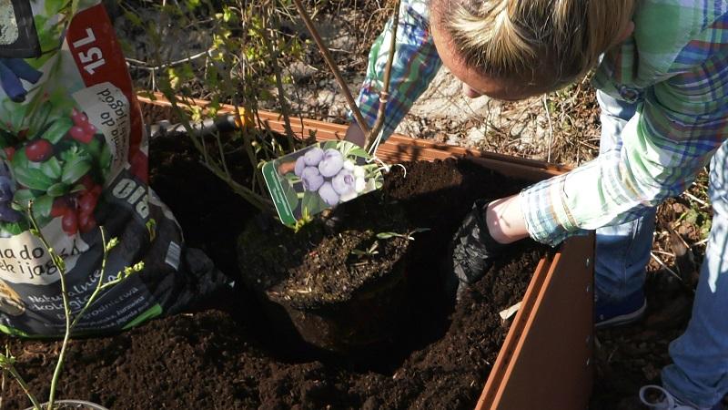 borówka amerykańska cięcie, przycinanie borówki, borówka amerykańska, jak ciąć borówkę amerykańską, jak sadzić borówkę, uprawa borówek, pielęgnacja borówek,