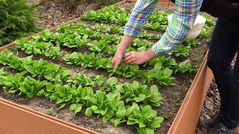Ogród warzywny – pikowanie pomidorów