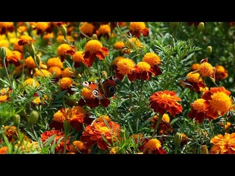 walka z nicieniami, jak pozbyć się nicieni, naturalna walka z nicieniami, aksamitki, zalety aksamitek, gdzie sadzić aksamitki,