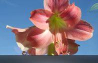 Amarylis i hipeastrum – jak wydłużyć i powtarzać kwitnienie