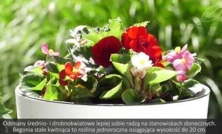 begonie, dalie, begonie na balkon, dalie na balkon, pielęgnacja dalii, pielęgnacja begonii, kwiaty na balkon, kwiaty na taras,