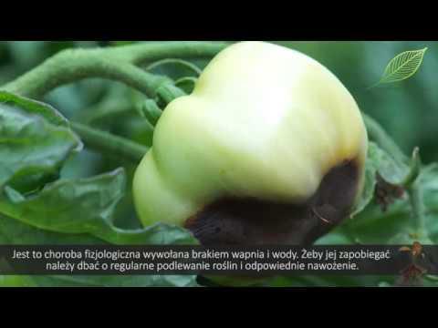 choroby pomidorów, problemy w uprawie pomidorów, zaraza ziemniaka na pomidorach, uprawa pomidorów, pomidor uprawa, żółte liście pomidora, czarne pomidory,