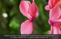 Cyklamen perski – ponowne kwitnienie
