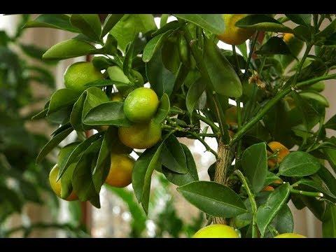 cytrusy, cytryny, drzewko cytrynowe, uprawa cytrusów, pielęgnacja cytrusów, nawożenie cytrusów, przesadzanie cytrusów,