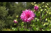 Dalie – rozmnażanie i uprawa