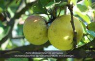 Drzewa owocowe – problemy