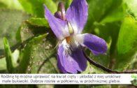 Fiołek wonny –  fiołek o cudownym zapachu, kwiat jadalny
