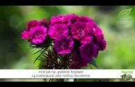 Goździki – odmiany i uprawa w ogrodzie