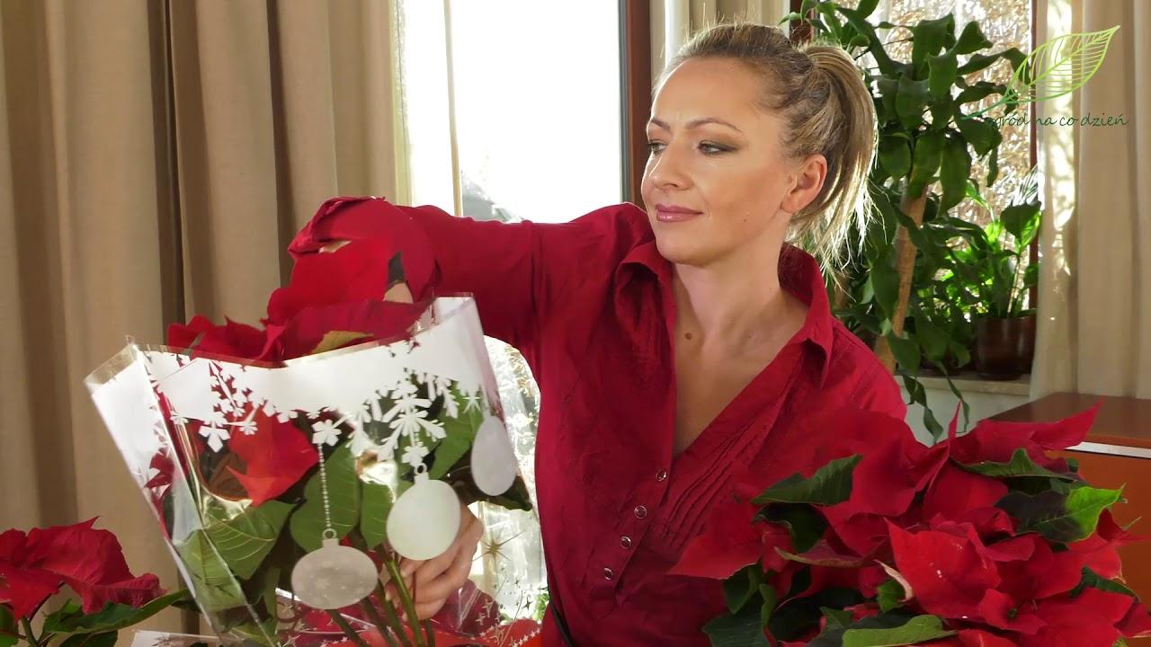 gwiazda betlejemska, roślina na święta, kupowanie poinsecji, jaką wybrać gwiazdę betlejemską,