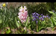 Hiacynty – uprawa i pielęgnacja w ogrodzie