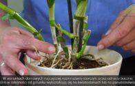 Jak kupować storczyki i je rozmnażać