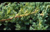 Jałowiec – kilka informacji o roślinie