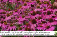 Jeżówka – bylina bardzo długo kwitnąca