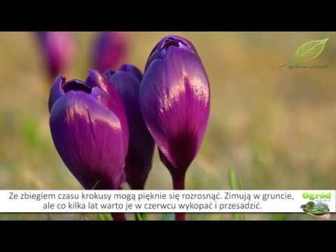 sadzenie krokusów, krokusy, krokusy w trawniku, jak sadzić krokusy, ogród, kwiaty w ogrodzie,
