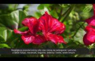Kwiaty balkonowe – problem w pielęgnacji