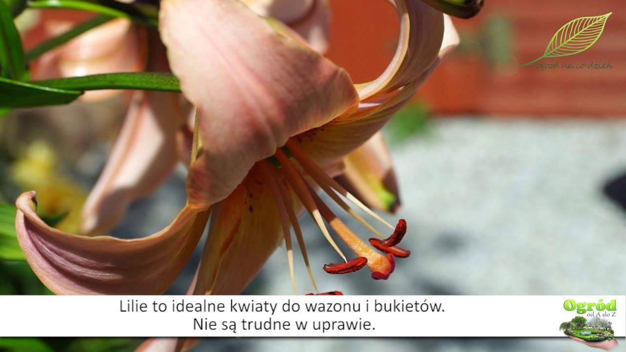 lilie w ogrodzie, kwiaty w ogrodzie, uprawa lilii, odmiany lilii,