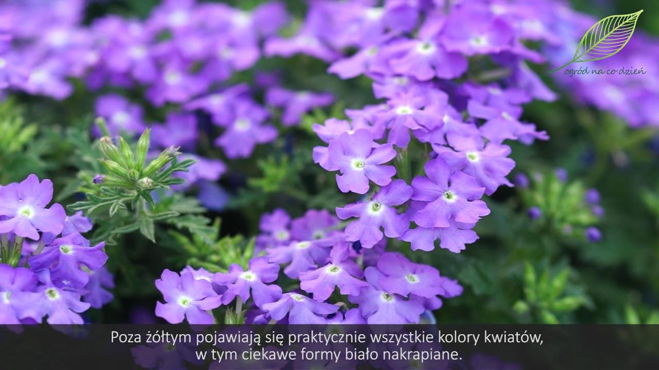 Lobelie, werbeny, rośliny na balkon, rośliny na taras, kwiaty na balkon, uprawa lobelii, pielęgnacja lobelii, pielęgnacja werbeny, nawożenie lobelii, nawożenie werbeny