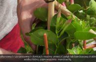 Pnącza – Mandewilla dipladenia lantana tunbergia