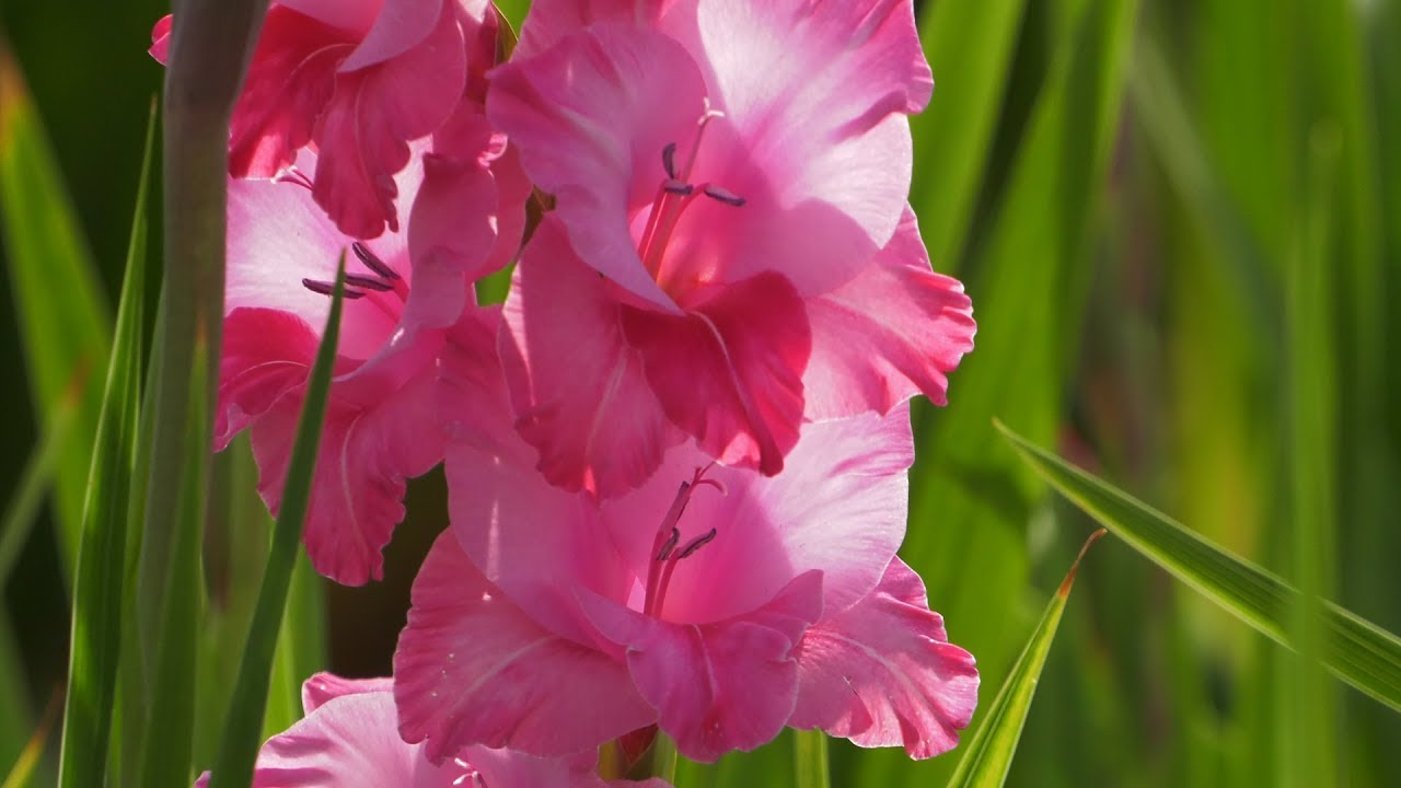 mieczyk, gladiola, uprawa mieczyków, sadzenie mieczyków, kwiaty w ogrodzie, ogród, kwiaty,
